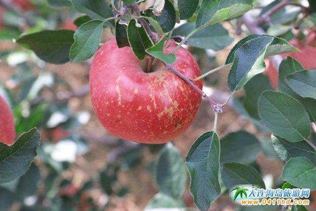 大连苹果采摘园