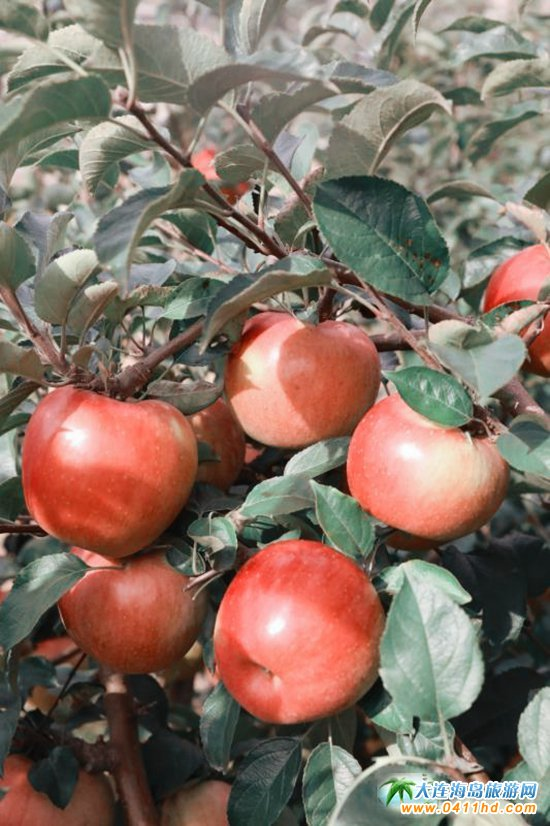 旅顺苹果采摘园,旅顺弘�移还�园图片2