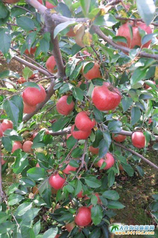 旅顺苹果采摘园,旅顺弘�移还�园图片6