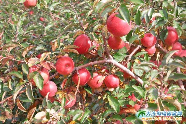 旅顺苹果采摘园,旅顺弘�移还�园图片8