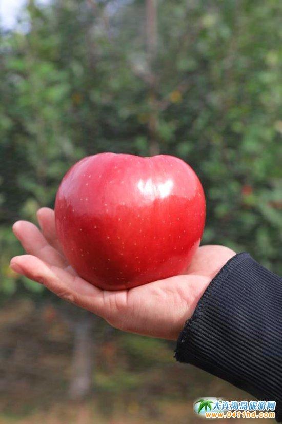 旅顺苹果采摘园,旅顺弘�移还�园图片9