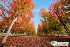 大连赏枫圣地,三十里堡枫叶林――彩叶林基地