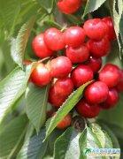 樱桃红,在浪漫之都的枝头抒怀