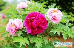 金普新区牡丹园10万株牡丹花争奇斗艳,游客可以免费入园欣赏。