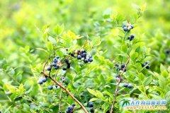 打造不落幕的采摘季,大樱桃节完满谢幕,蓝莓采摘季缤纷启动
