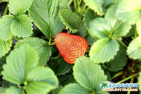 过年了!带着家人到鑫海源草莓园沾沾喜气!