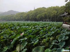 2019年杭州西湖游船看荷花