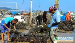 长海县马粪海胆大丰收,半个月销售10万斤