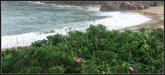 海蓬花――永恒的海岛精神